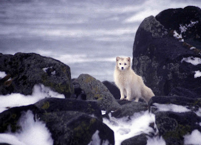 White Artic Fox