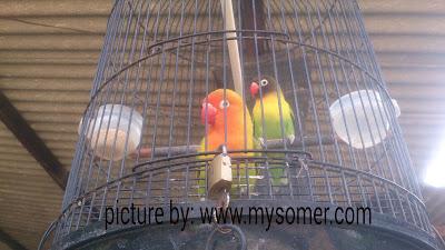 Cara pemisahan lovebird sistem pasangan untuk kontes