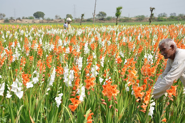 When the flower will blossom, the name of the Fatehpur Biloch of Faridabad will definitely come, the flowers of Ranjingaganda, Lili, Glydola, Genda-Gulab