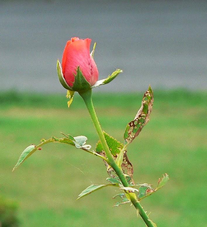 stressed rose from spiritual mechanics of diabetes blog