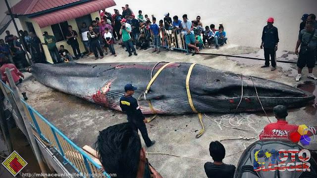 Bangkai Ikan Paus terdampar di Batu Pahat