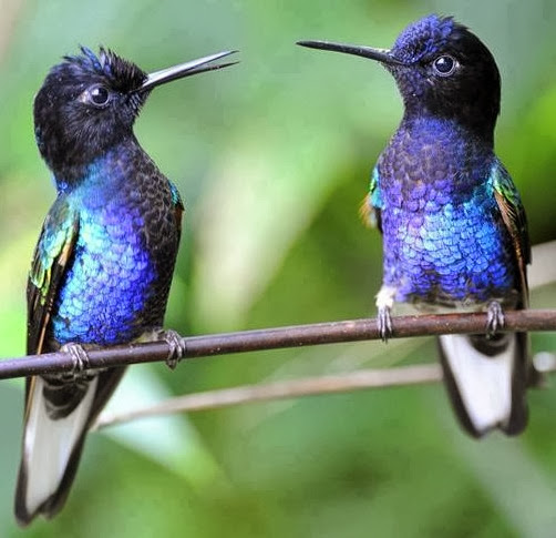 Two lady hummingbirds gossiping on a tree branch