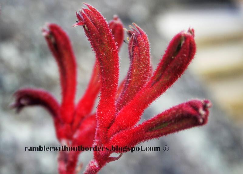 Red Kangaroo Paws