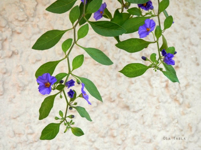 Solanum rantonnetii. Arbusto incluido en el catálogo de plantas para jardinería mediterránea sin especies exóticas invasoras