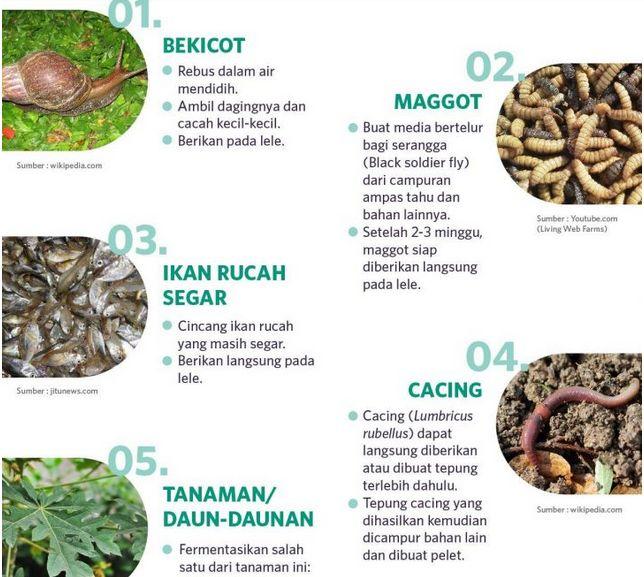 Makanan Ikan Lele Alami