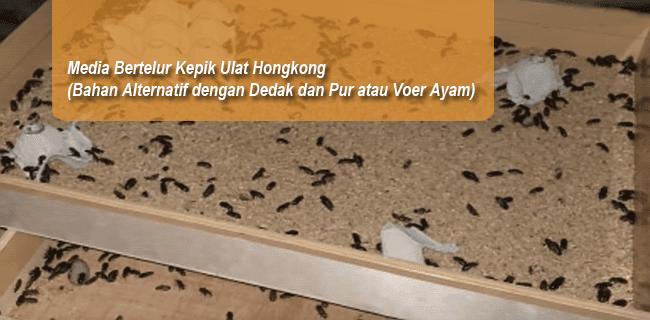 Media Bertelur Kepik Ulat Hongkong (Bahan Alternatif dengan Dedak dan Pur atau Voer Ayam)