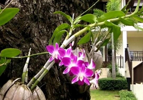 bunga anggrek pada pohon mangga