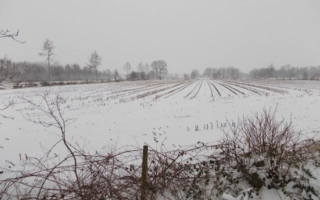 Maisveld bedekt met een laag sneeuw