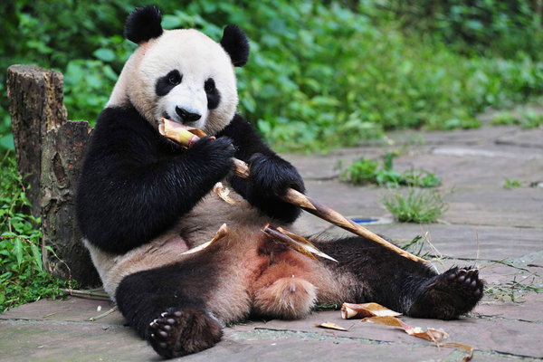 china and the giant panda endangered extinction saved