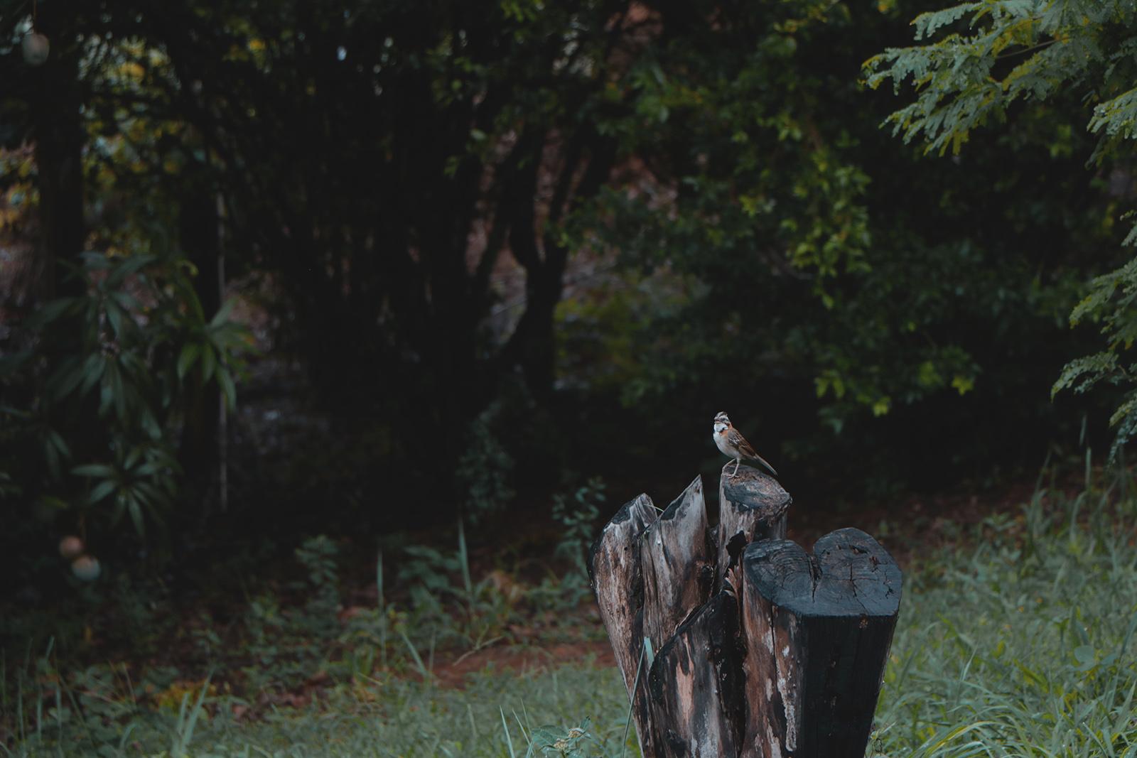 passarinho no tronco
