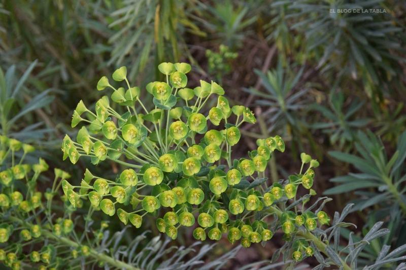 Euphorbia wulfenii Hoppe