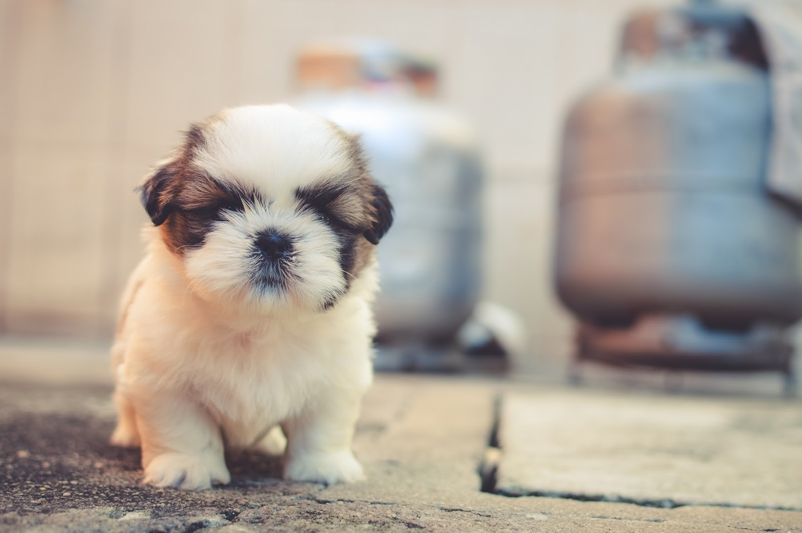 cute fluffy puppy