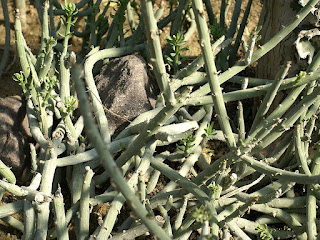 Séneçon fausse euphorbe - Kleinia anteuphorbium - Senecio anteuphorb