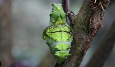 Kepompong kupu - kupu metamorfosis sempurna - berbagaireviews.com