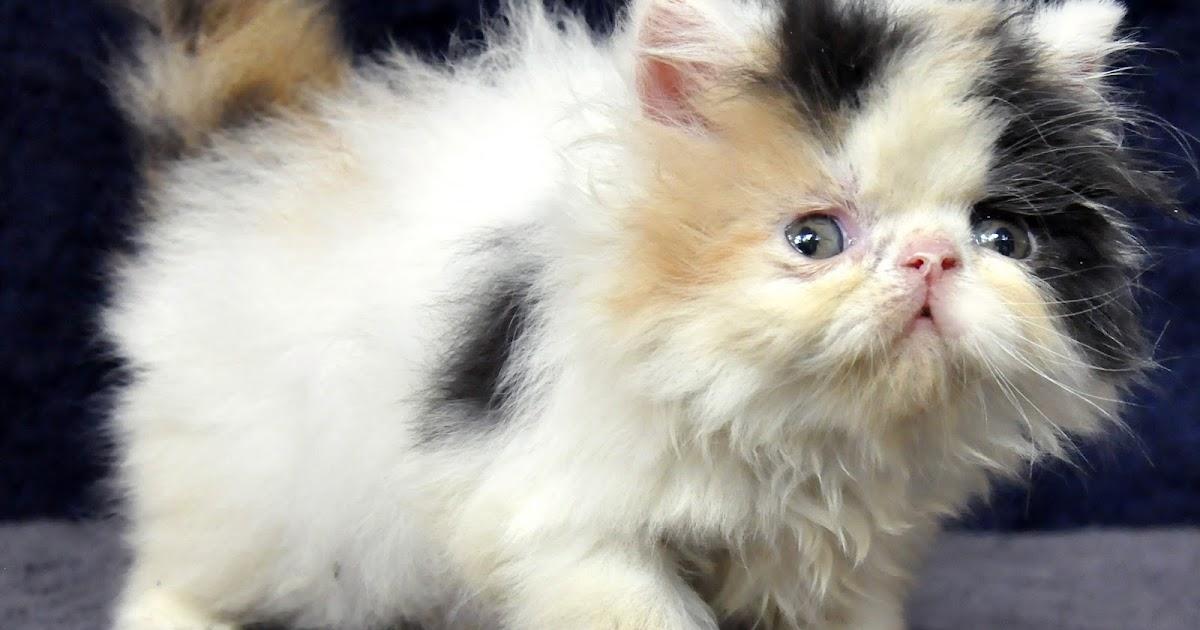 Mengatasi Bayi Kucing Diare Sweet Seilen S Cat Bagaimana