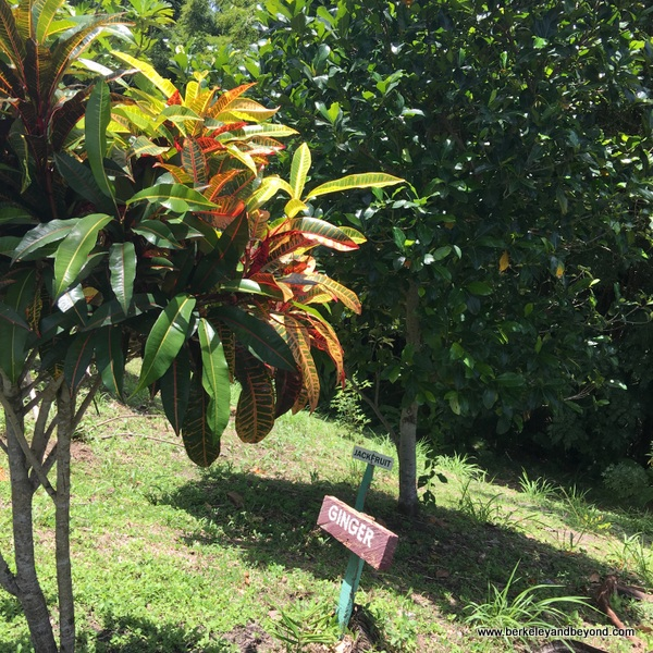 ginger bush at Tobago Cocoa Estate in Rosborough, Tobago