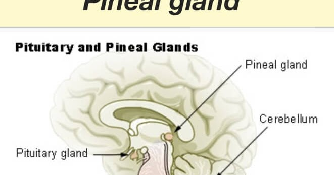 What is the Function of Pineal Gland?