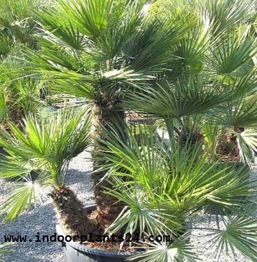Chamaerops Humilis plant image potted