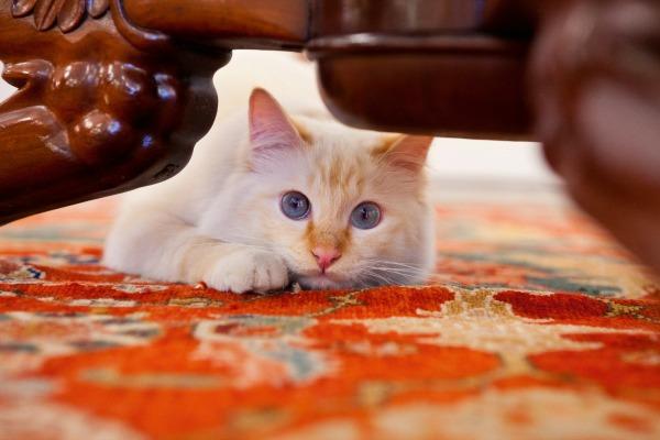 fa-raon cat