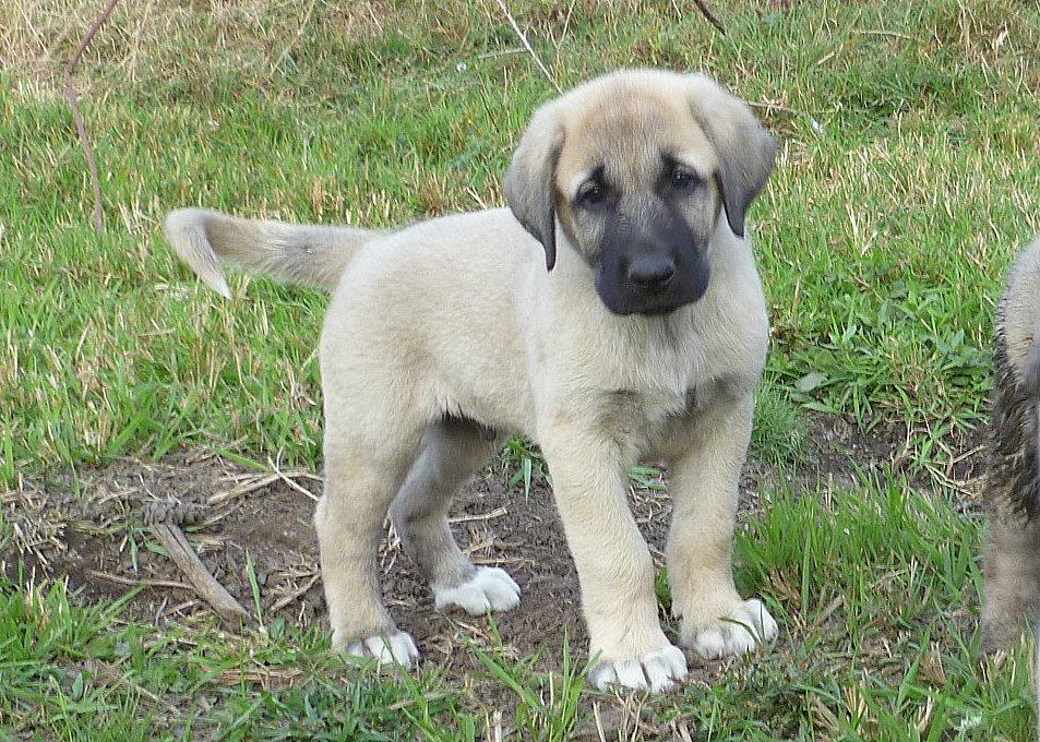 Anatolian Shepherd Puppies 7 Weeks Old