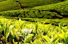 tea production in india down 6.7%, while export rise 6.5% from india news in hindi