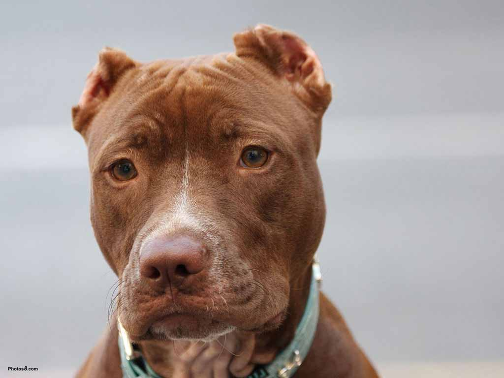 Pitbull+Dog+Wallpapers2