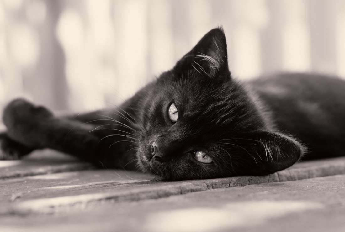 8 Myths about Black Cats