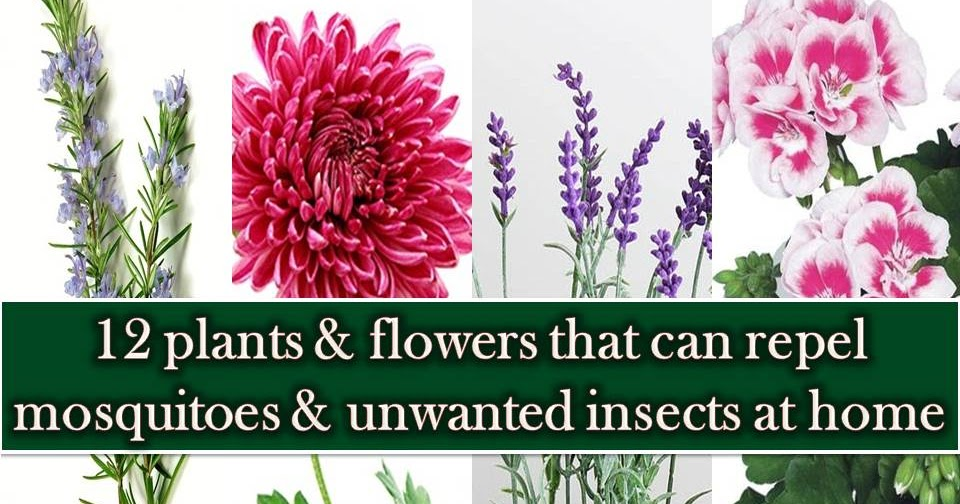 12 Plants And Flowers That Repels Mosquitoes And Other
