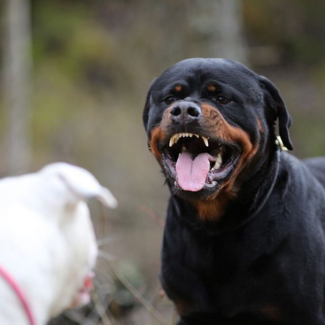 DOG Gorgeous Rottweiler!