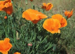 new mexico poppy, orange poppy, poppies, poppy flower