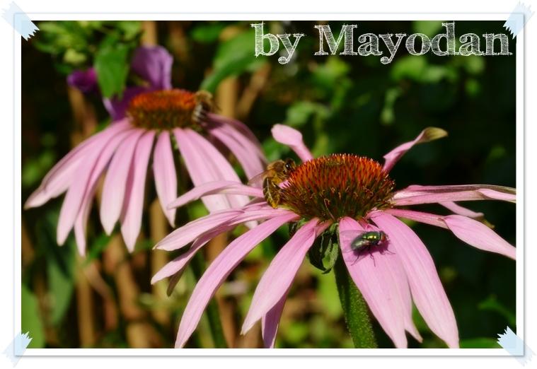 lieblingsstaude phlox mayodans home garden crafts. Black Bedroom Furniture Sets. Home Design Ideas
