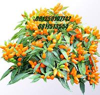tanaman feng shui - www.jasataman.co.id