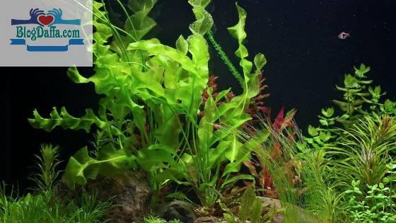 Tanaman aquascape Aponogeton Ulvanecus
