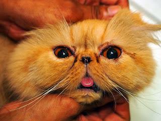 Cara Membersihkan Kotoran Mata Kucing Dengan Kapas