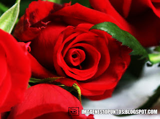 imagenes de rosas rojas