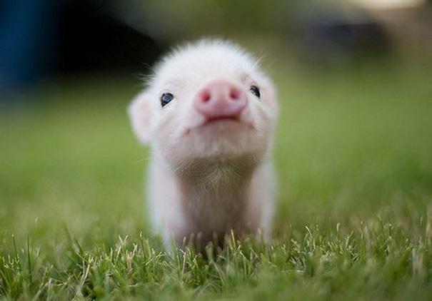 Baby Animals: Piglet