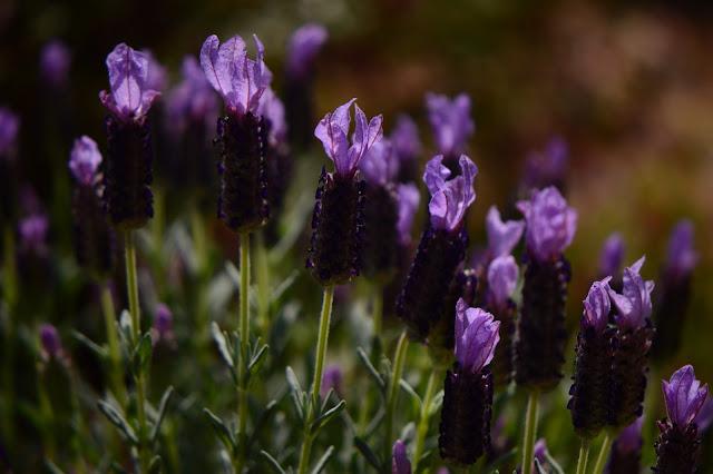 lavender, blueberry ruffles, lavendula stoechas, small sunny garden, amy myers, desert garden, garden bloggers bloom day