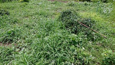 大玉スイカのエリアの雑草。これを除草します。