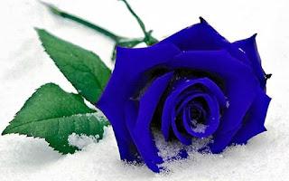 Gambar Bunga Mawar Biru Paling Cantik_Blue Roses Flower 200014