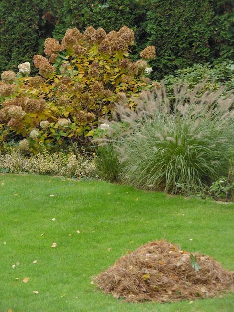rozplenica Hamelm i hortensja Limelight