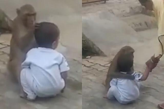 Seekor Monyet Menculik Bocah Dua Tahun Lalu Memperlakukannya Bak Anak Sendiri