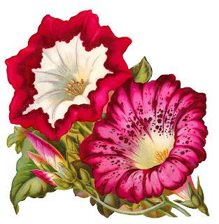 flower artwork botanical illustration morning glory image