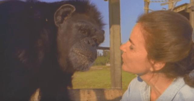 18 Years After Saving Chimp Their Eyes Meet Again