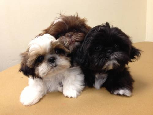 buy shih tzu puppies litter size of shih tzu dogs annie many 8875