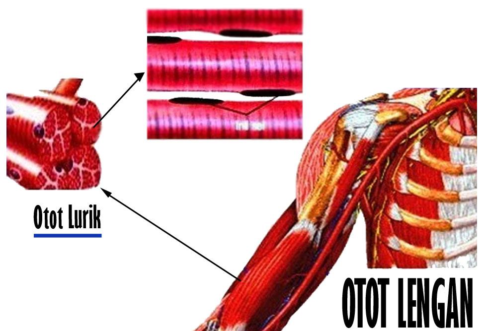 Pengertian Otot Lurik Beserta Fungsi dan CiriCirinya