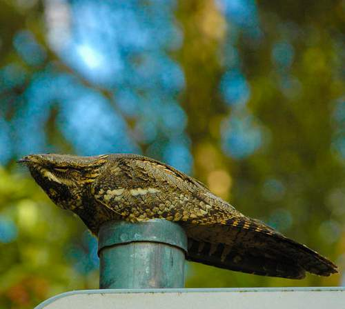 Indian birds - Image of European nightjar - Caprimulgus europaeus