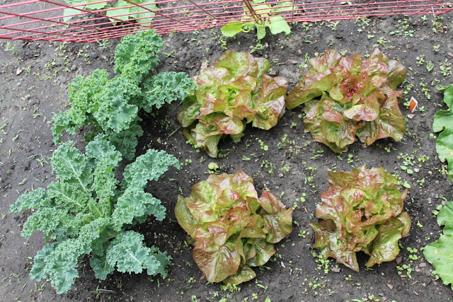Kale and lettuce on June 13, 2015.