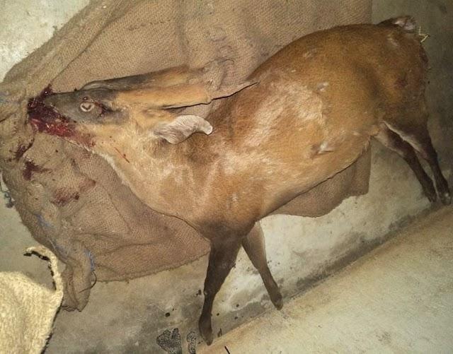 ब्रेकिंग पत्रवार्ता:- जशपुर में हिरण की मौत,लाठी डंडों से पीटकर ग्रामीणों ने उतारा मौत के घाट,कहीं वन्य जीव के अंगों की तस्करी .......