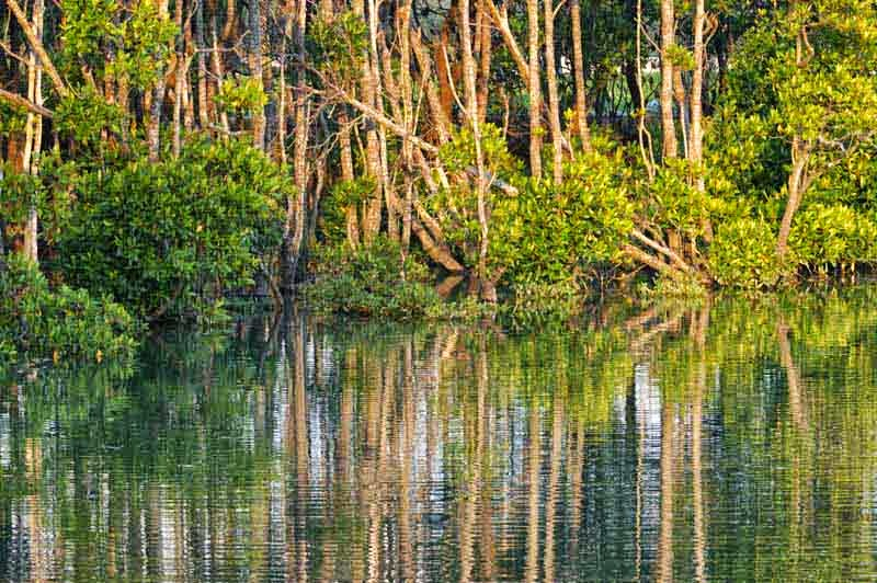 forest,river, mangrove trees,reflection