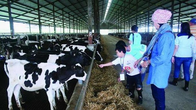 foto agro wisata sapi perah jateng